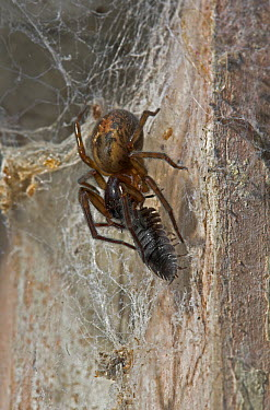 Lace-webbed Spider (Amaurobius similis) with prey, England  -  Stephen Dalton