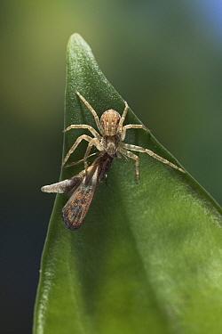 House Crab Spider (Philodromus dispar) with prey, England  -  Stephen Dalton