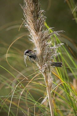 House Sparrow (Passer domesticus) collecting nest material, England  -  Stephen Dalton