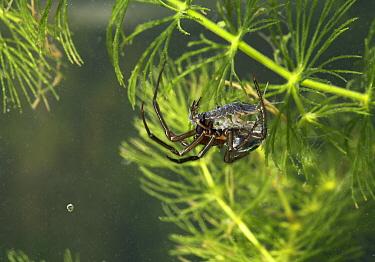 Water Spider (Argyroneta aquatica) with prey, England  -  Stephen Dalton
