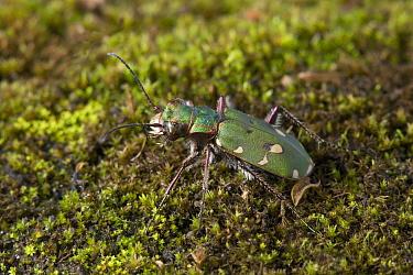 Green Tiger Beetle (Cicindela campestris), England  -  Stephen Dalton