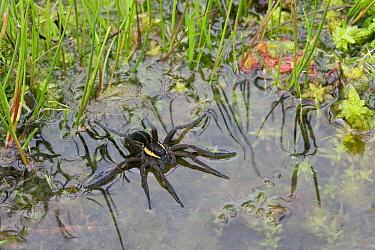 Raft Spider (Dolomedes fimbriatus) floating on water, England  -  Stephen Dalton