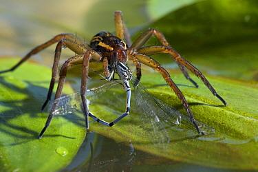 Raft Spider (Dolomedes fimbriatus) feeding on damselfly, England  -  Stephen Dalton