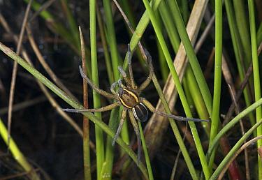 Raft Spider (Dolomedes fimbriatus), England  -  Stephen Dalton