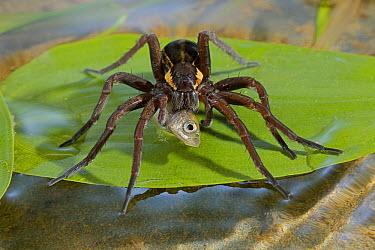 Raft Spider (Dolomedes fimbriatus) eating stickleback prey, England  -  Stephen Dalton