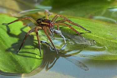 Raft Spider (Dolomedes fimbriatus) feeding on damselfly, England  -  Stephen Dalton