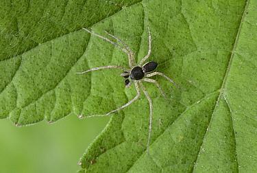 House Crab Spider (Philodromus dispar), England  -  Stephen Dalton