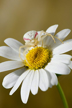 Goldenrod Crab Spider (Misumena vatia) camouflaged on daisy, England  -  Stephen Dalton
