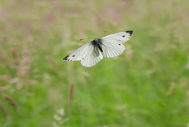 Green-veined White (Pieris napi) butterfly flying, England  -  Stephen Dalton
