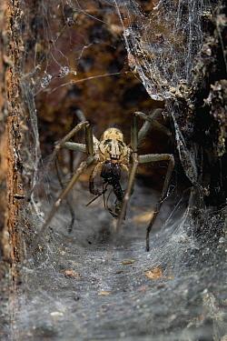 Lesser House Spider (Tegenaria domestica) with prey, England  -  Stephen Dalton