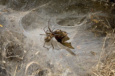 Funnel Weaver Spider (Tegenaria sp) catching prey, England  -  Stephen Dalton