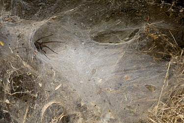 Funnel Weaver Spider (Tegenaria sp) at tunnel entrance waiting for prey, England  -  Stephen Dalton