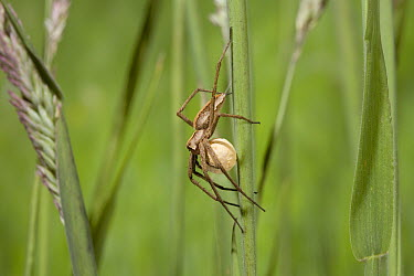 Nursery-web Spider (Pisaura mirabilis) carrying egg sac, England  -  Stephen Dalton