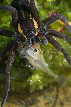 Raft Spider (Dolomedes fimbriatus) feeding on stickleback prey, England  -  Stephen Dalton