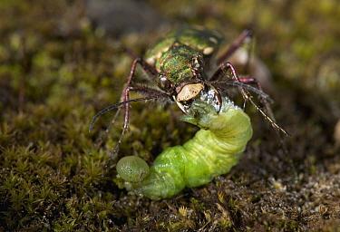 Green Tiger Beetle (Cicindela campestris) feeding on prey, England  -  Stephen Dalton