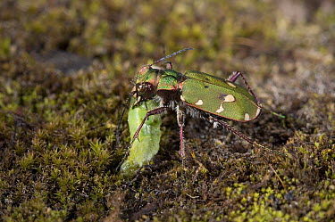 Green Tiger Beetle (Cicindela campestris) feeding on prey, England  -  Stephen Dalton