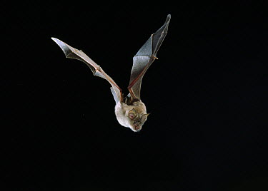Greater Horseshoe Bat (Rhinolophus ferrumequinum) flying, England  -  Stephen Dalton