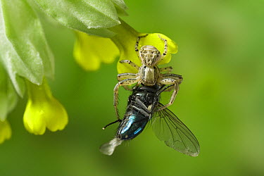 Crab Spider (Xysticus cristatus) feeding on Blue Bottle Fly (Calliphoridae)  -  Stephen Dalton