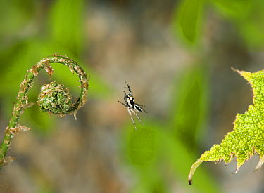 Jumping Spider (Plexippus paykulli) leaping, Costa Rica  -  Stephen Dalton