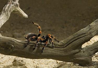 Mexican red-knee tarantula spider (Brachipelma smithi) shedding hairs as a defence mechanism  -  Stephen Dalton