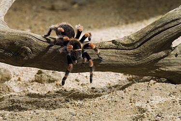 Mexican Red-knee Tarantula (Brachypelma smithi)  -  Stephen Dalton