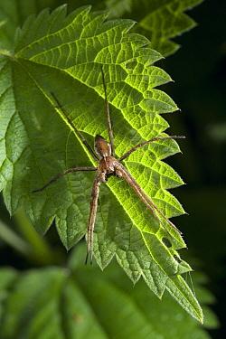 Nursery-web Spider (Pisaura mirabilis) basking on a leaf, UK  -  Stephen Dalton
