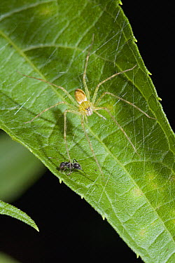 Fishing Spider (Pisauridae) with ant prey, Costa Rica  -  Stephen Dalton