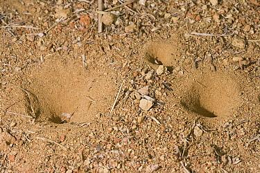 Antlion (Myrmeleontidae) pits, Costa Rica  -  Stephen Dalton