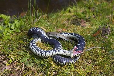Grass Snake (Natrix natrix) pretending to be dead  -  Stephen Dalton