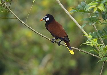 Montezuma Oropendola (Psarocolius montezuma), Costa Rica  -  Stephen Dalton