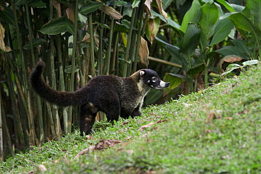 White-nosed Coati (Nasua narica), Costa Rica  -  Stephen Dalton