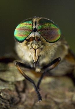 Horse Fly (Tabanus sp), England  -  Stephen Dalton