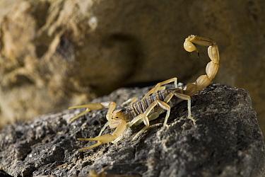 Common European Scorpion (Buthus occitanus)  -  Stephen Dalton