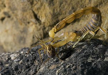 Common European Scorpion (Buthus occitanus) stinging prey  -  Stephen Dalton