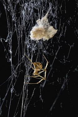 American House Spider (Achaearanea tepidariorum) with egg sac, USA  -  Stephen Dalton