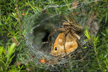 Labyrinth Spider (Agelena labyrinthica) dragging prey back to lair with mate in background  -  Stephen Dalton