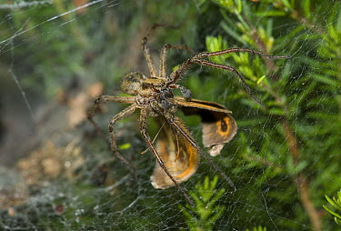 Labyrinth Spider (Agelena labyrinthica) dragging prey back to lair  -  Stephen Dalton