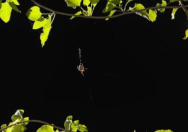 Garden Spider (Araneus diadematus) constructing web, Sussex, England, sequence 1/5  -  Stephen Dalton