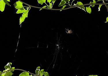 Garden Spider (Araneus diadematus) constructing web, Sussex, England, sequence 2/5  -  Stephen Dalton