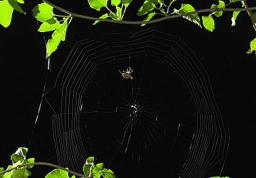Garden Spider (Araneus diadematus) constructing web, Sussex, England, sequence 4/5  -  Stephen Dalton