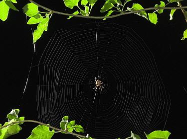 Garden Spider (Araneus diadematus) constructing web, Sussex, England, sequence 5/5  -  Stephen Dalton