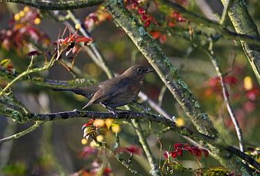 Eurasian Blackbird (Turdus merula)  -  Stephen Dalton