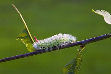 Dark Tussock (Dicallomera fascelina) caterpillar  -  Stephen Dalton
