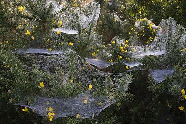 Gorse (Ulex sp) with spider webs  -  Stephen Dalton