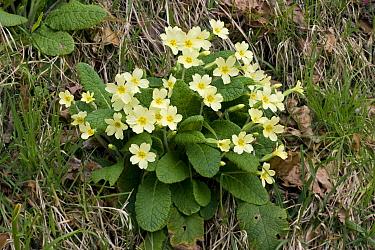 Primrose (Primula vulgaris) flowering  -  Stephen Dalton