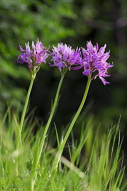 Toothed Orchid (Orchis tridentata) flowers, Italy  -  Stephen Dalton