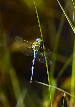 Emperor Dragonfly (Anax imperator) male  -  Stephen Dalton