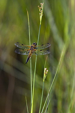 Four-spotted Chaser (Libellula quadrimaculata), England  -  Stephen Dalton