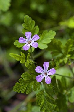 Herb Robert Geranium (Geranium robertianum) flowers  -  Stephen Dalton