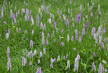 Common Spotted Orchid (Dactylorhiza fuchsii) flowers  -  Stephen Dalton